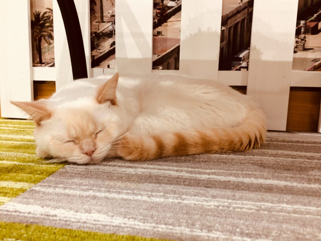 猫カフェ猫さん